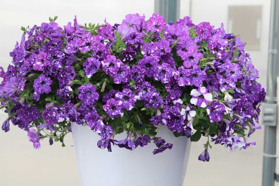 Growing Tips On Petunia 'Night Sky'