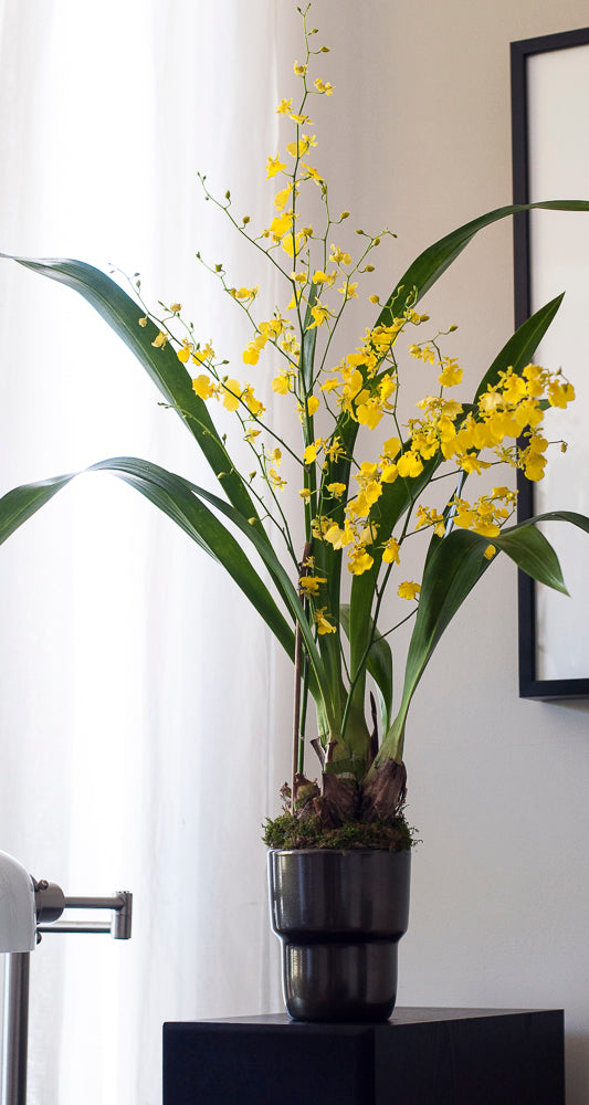 Yellow Butterflies Oncidium arranged in Modern Japanese Style Porcelain Cachepot, Bronze