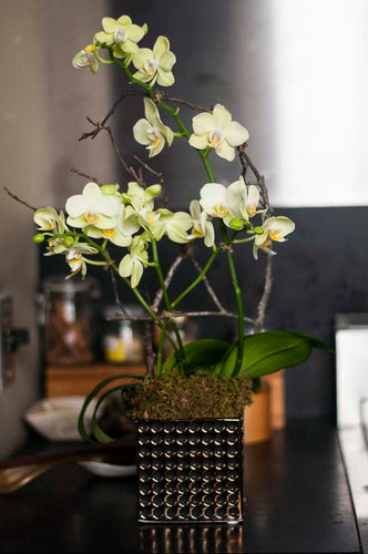Chartruese Mini Phalaenopsis  arranged in Hobnail Square Porcelain Pot