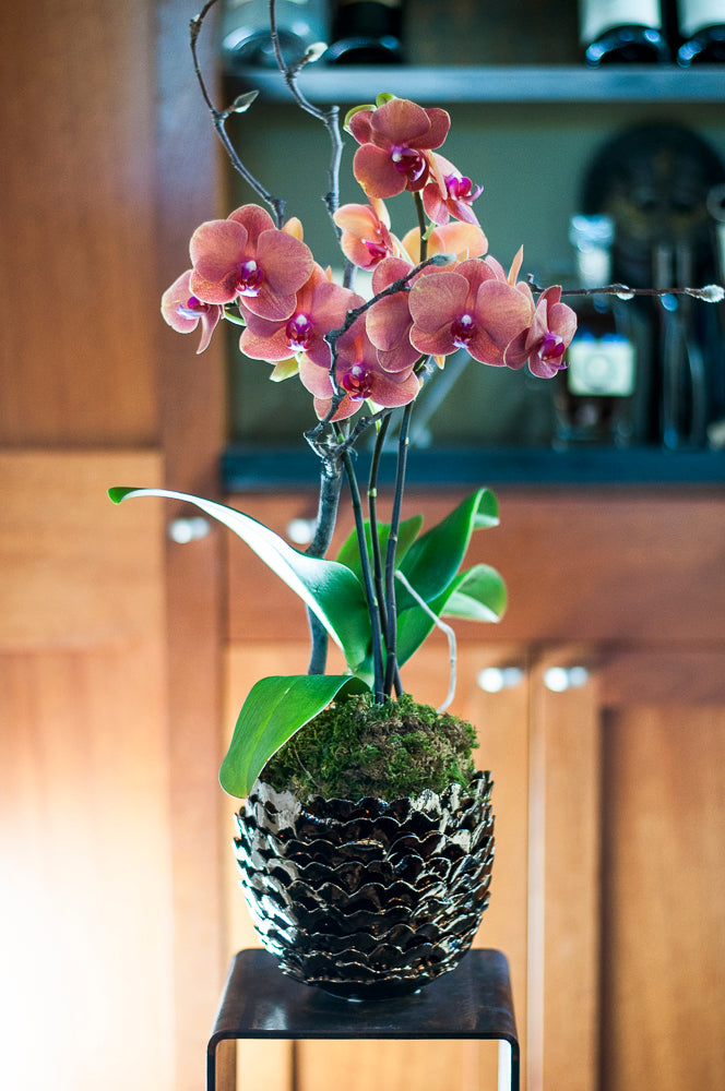 Tuscan Terra Cotta Phalaenopsis  arranged in Porcelain Pine Cone Italian Bronze Finish cachepot