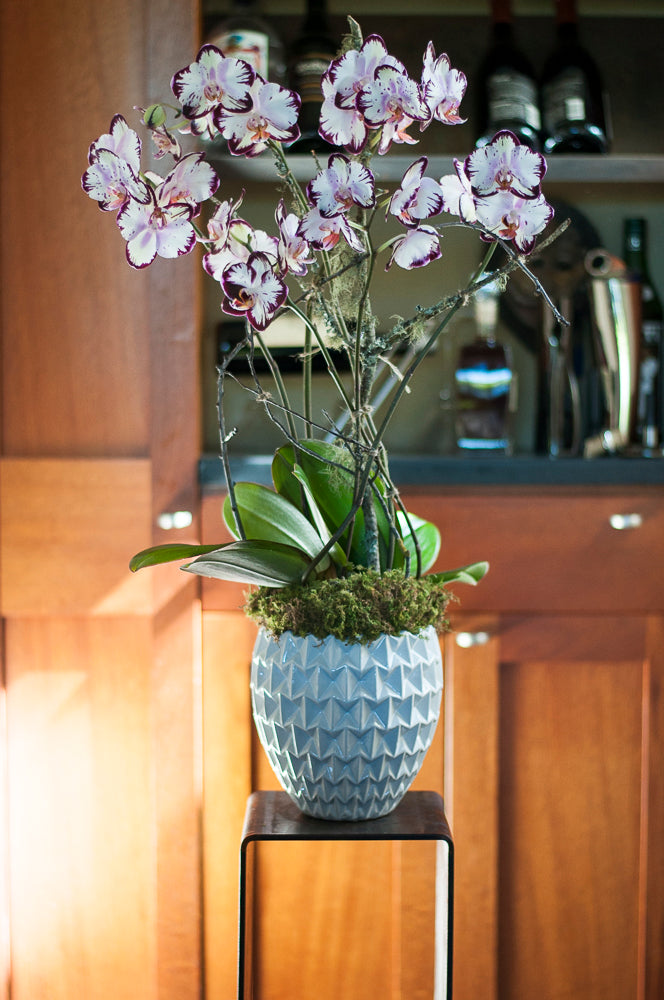 Forever Spring Phalaenopsis  arranged in Moon Shadow White Porcelain Cachepot