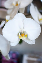 Cascading Single Stem, Large Bloom White Phalaenopsis arranged in Round Footed Hobnail