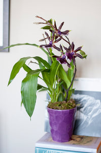 Brazilian Zygopetalum  arranged in Classic Purple Porcelain