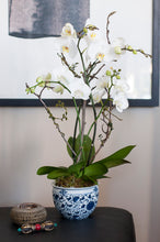 Classic White Moth Phalaenopsis  arranged in Blue and White Floral cachepot
