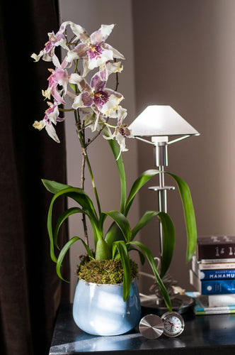 Angel Star Odontoglossum arranged in Hand-thrown