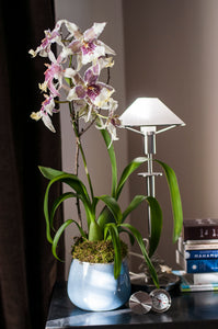 "Angel Star Odontoglossum arranged in Hand-thrown ""Nairobi Blue"" Porcelain Vessel"