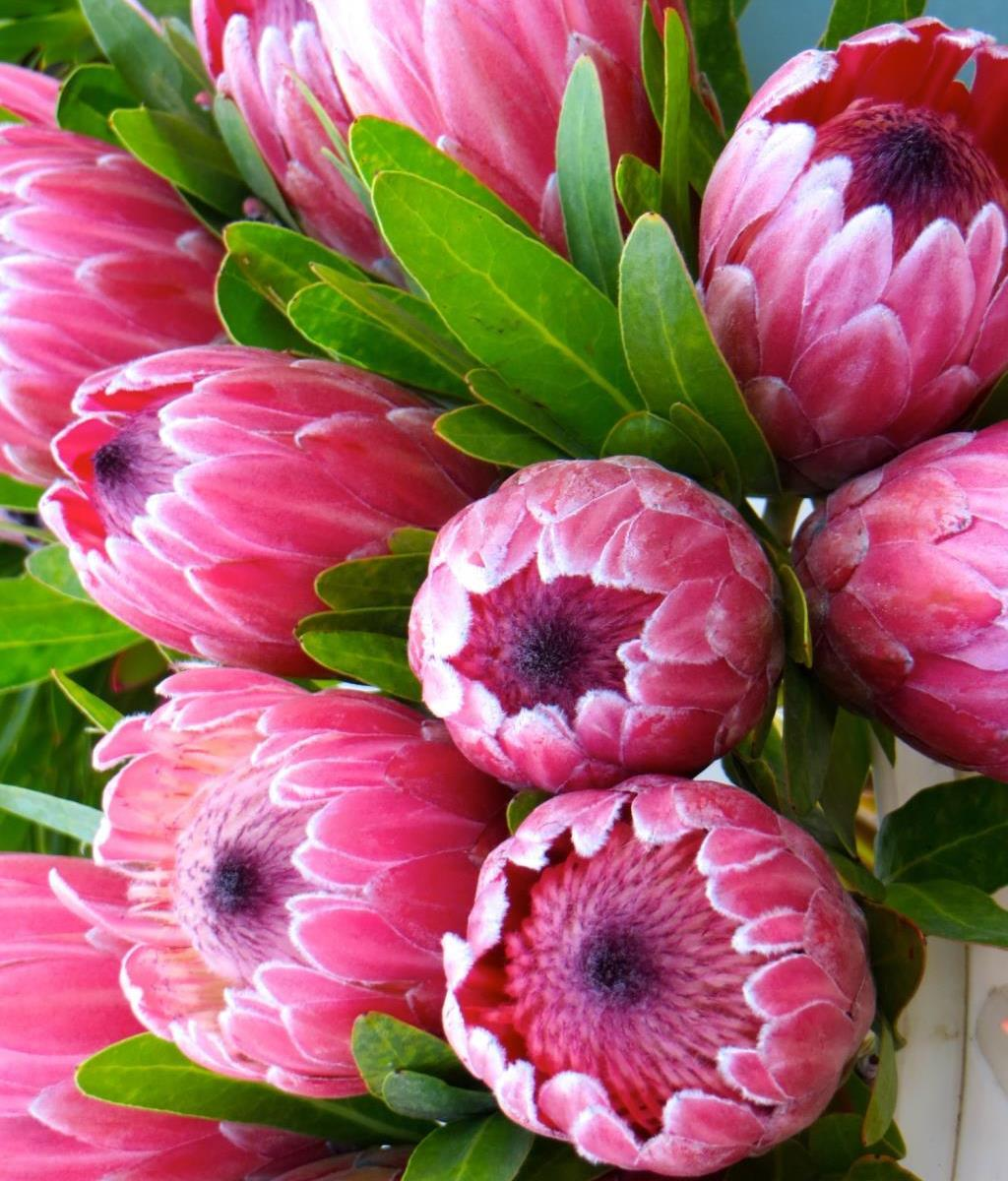 Protea Pink Ice In 140mm Pot Top Plants
