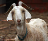 Image of Goat