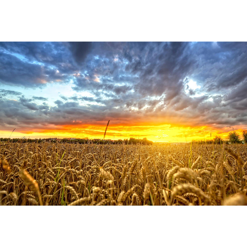 Polish wheat field at sunset - POL035