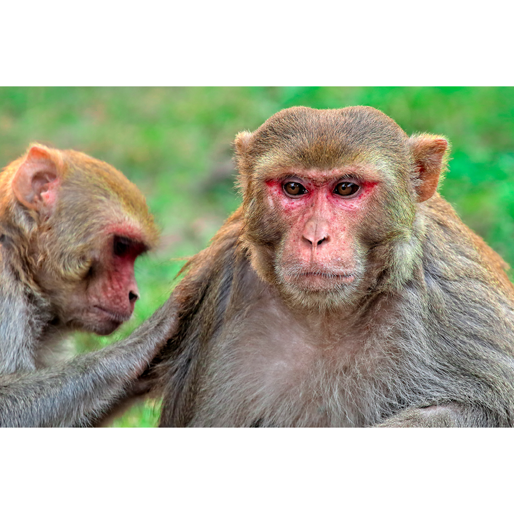 Rhesus Macaque Monkey - ANM050