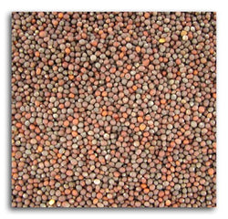 Bulk Broccoli Seeds - 1 lb.