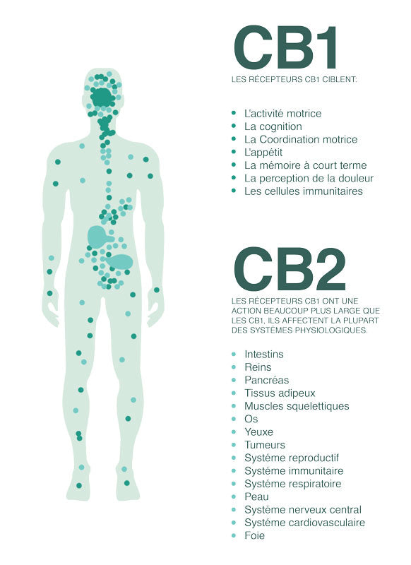 The human endocannabinoid system (ECS)