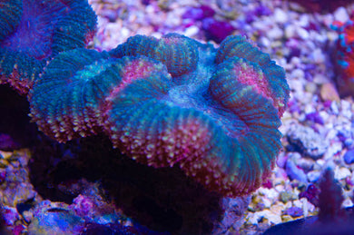 Lobophyllia - Open Brain (Green/red) (Medium - 3.5