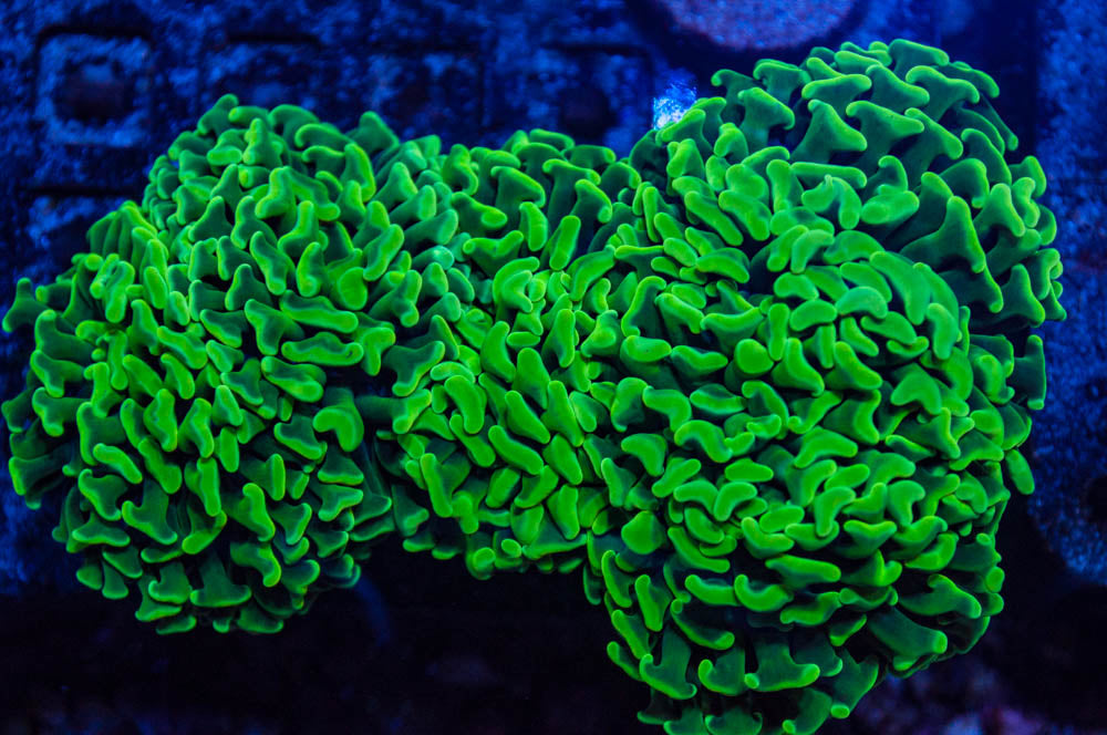 Metallic Green Branching Hammer Coral (large frag)