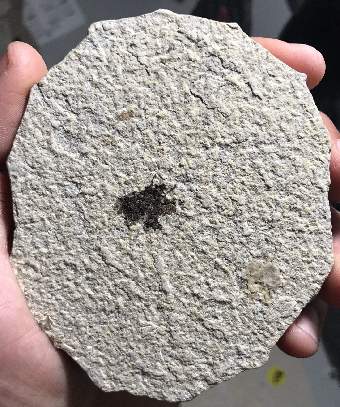 Fossil Fly from Kemmerer, Wyoming - Fossil Daddy