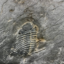 Fossil Trilobite from Germany, Phacops ferdinandi - Fossil Daddy