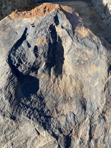 Natural Fossil Dinosaur Footprint for Sale, Juvenile Eubrontes - Fossil Daddy
