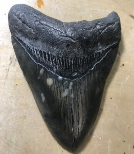 "4.72"" Fossil Megalodon Tooth - Fossil Daddy"