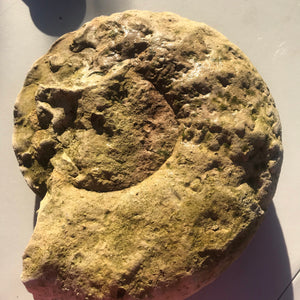 Rare GIANT Fossil Ammonite/ Triassic Period of Texas