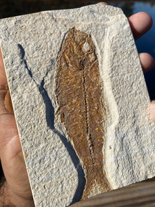 Fossil Fish (Knightia) - Wyoming - Fossil Daddy