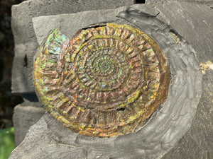 Massive & Rare Iridescent Fossil Ammonite, Caloceras johnstoni, from England - Fossil Daddy