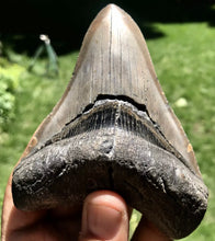 "4"" Fossil Megalodon Tooth - Fossil Daddy"