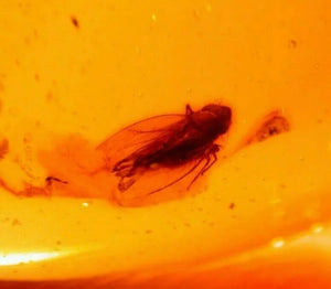 Fulgoroid Insect, Fly in Authentic Dominican Amber Fossil For Sale