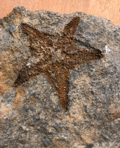 Superb Fossil Sea Star from Australia