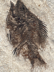 Fossil Fish for sale (Cockerellites) - Wyoming - Fossil Daddy