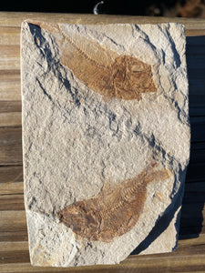 Two Young Fossil Fish (Diplomystus) - Wyoming