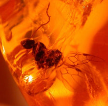Winged male Ant in Fossil Amber