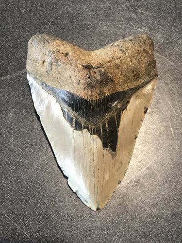 "5.12"" Fossil Megalodon Tooth"