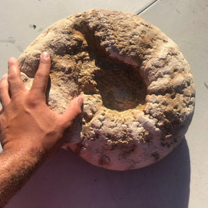 Rare GIANT Fossil Ammonite/ Triassic Period of Texas - Fossil Daddy