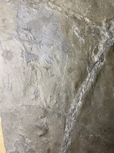 Trackways of Early Terrestrial Tetrapod Vertebrate footprints on Carboniferous shale from Plainville, Massachusetts - Fossil Daddy