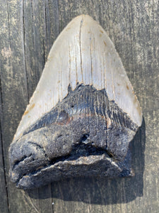 "5.2"" Fossil Megalodon Tooth - Fossil Daddy"