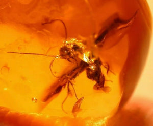 Winged male Ant in Fossil Amber - Fossil Daddy