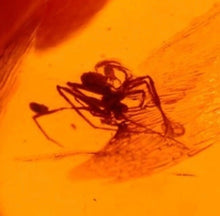 Fossil Spider in Dominican Amber
