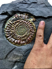 Rare Iridescent Fossil Ammonite, Caloceras johnstoni, from England - Fossil Daddy