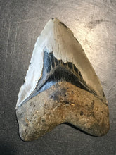 "5.12"" Fossil Megalodon Tooth - Fossil Daddy"