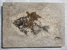 Fossil Fish (Cockerellites) & Coprolite for Sale- Wyoming - Fossil Daddy