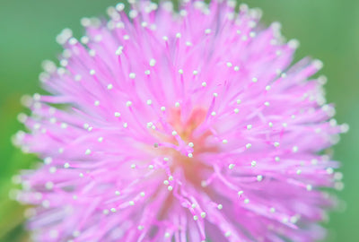 Mimosa Pudica and Fertility