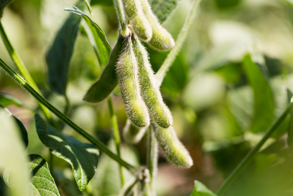 Dicamba is commonly used on soybeans