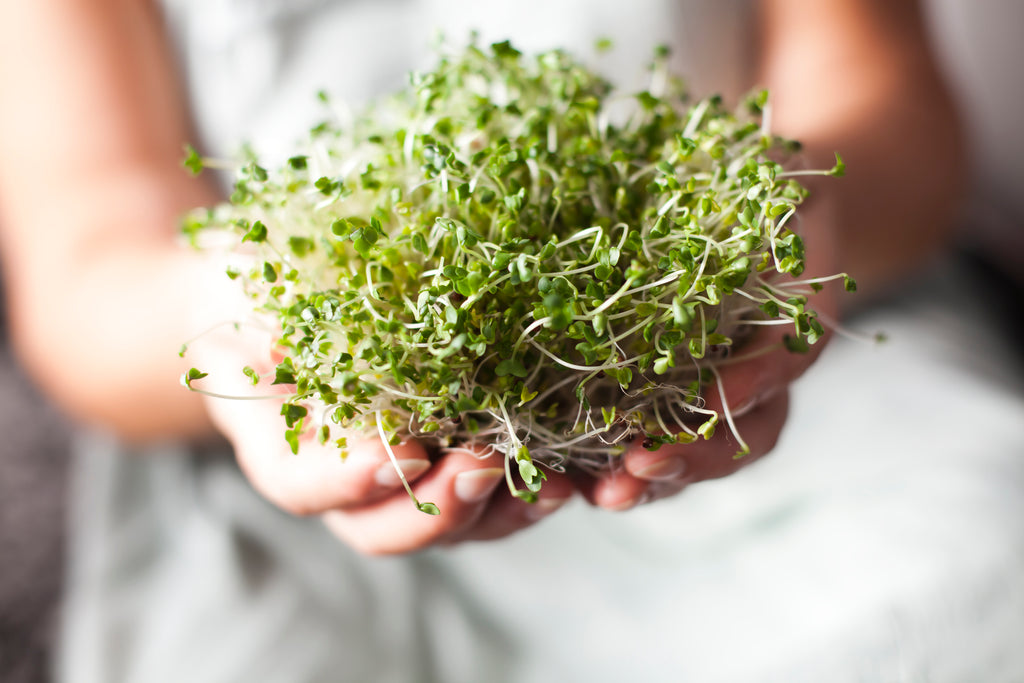 Broccoli sprouts are a high source of sulforaphane