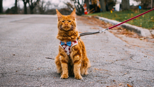 How to train your cat to walk on a leash?