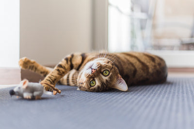 What you should know about exercising your cat