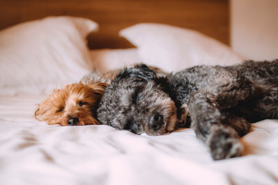 two dogs sleeping in bed