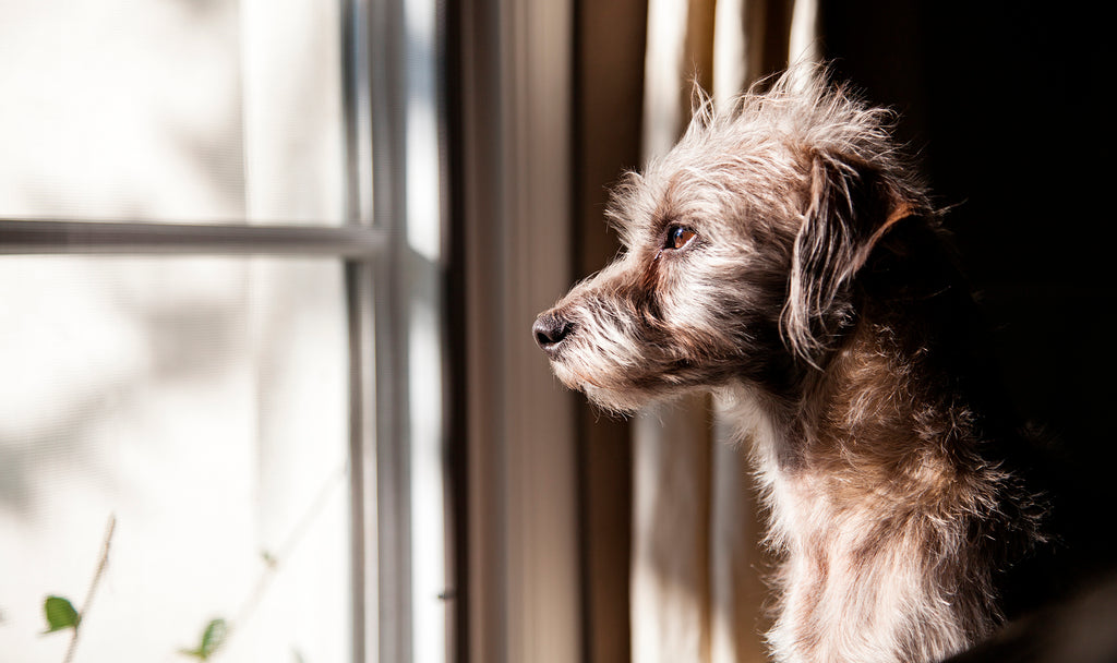 How to deal with separation anxiety in dogs. Img1.