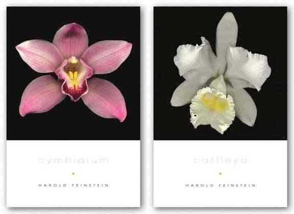 Cattleya and Cymbidium Set by Harold Feinstein