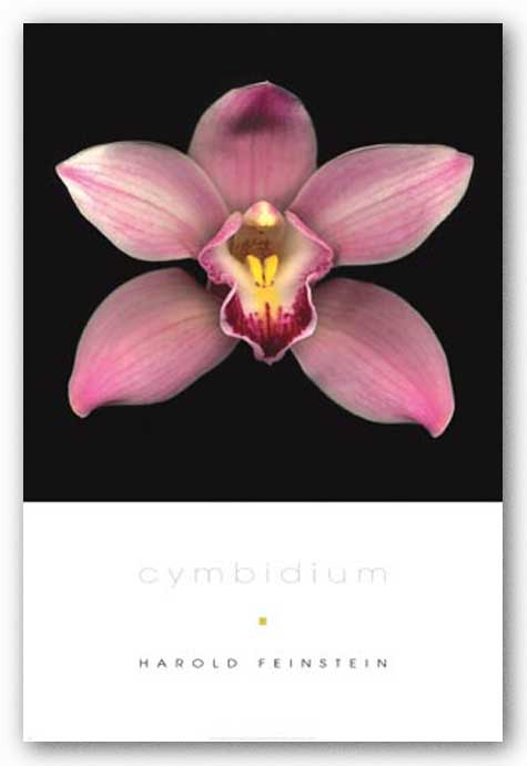 Cymbidium by Harold Feinstein