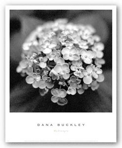 Hydrangea by Dana Buckley
